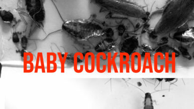 baby cockroach