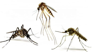 How Fast Can a Mosquito Run