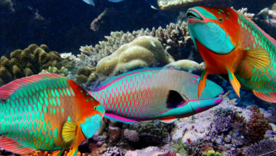 Weight of Average Parrotfish