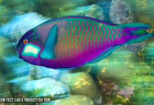 How Fast Can a Parrotfish Run